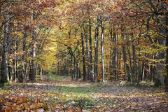 Autumn forest in Poland Royalty Free Stock Photography