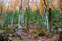 Autumn forest in Pyrenees Valle de Ordesa Huesca Spain Stock Photo