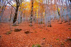 Autumn forest in Pyrenees Valle de Ordesa Huesca Spain Royalty Free Stock Image