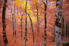 Autumn forest in Pyrenees Valle de Ordesa Huesca Spain Stock Photos