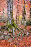 Autumn forest in Pyrenees Valle de Ordesa Huesca Spain Stock Images