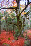 Autumn forest in Pyrenees Valle de Ordesa Huesca Spain Royalty Free Stock Photography
