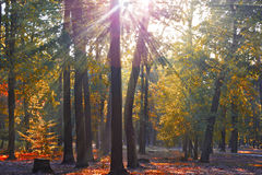 Autumn in the forest. Rays of the sun in the autumn forest Royalty Free Stock Images