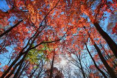Autumn forest, red maple trees. On sky background royalty free stock photography