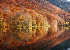 Autumn forest with reflection on lake. Autumn forest in various colors and its reflection in Biogradsko Lake in Montenegro stock photos