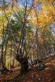 Autumn forest. At region Liptov, Slovakia Stock Images