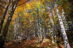 Autumn forest. At region Liptov, Slovakia Royalty Free Stock Photos