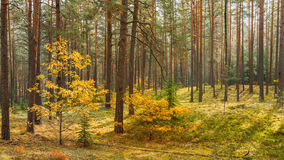 Autumn forest reserve park. Nobody. panorama Royalty Free Stock Photography