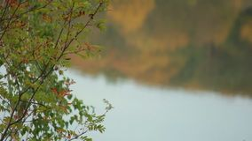 Autumn Forest by the River. Autumn forest grows near water, calm weather stock footage