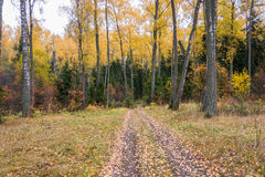 Autumn forest. The road, Dating back to the autumn forest with yellow birch and orange bushes Stock Photo