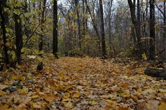 Autumn forest with road of fallen leaves. October day. Nature in fall season.  stock photography