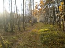 Autumn, forest road, silence, fabulous birch trees, beautiful day stock images