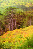 Autumn Forest on rocky Mountain hill colorful seasonal Landscape Royalty Free Stock Image