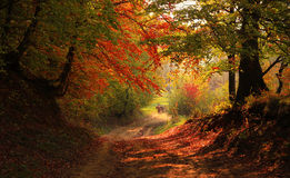 Autumn in the forest. A Romanian autumn colour forest Stock Photos