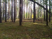 Autumn forest in Russia royalty free stock images
