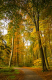 Autumn forest scenery with rays of warm light illumining the gold foliage and a footpath leading into the scene Stock Images