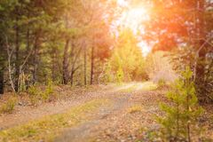 Autumn forest scenery with rays of warm light illumining the gold foliage and a footpath with tilt shift Effect stock photos