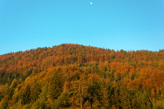 Autumn forest with a setting moon Royalty Free Stock Image