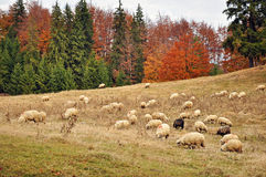 Autumn forest and sheep Royalty Free Stock Photography