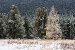 Autumn forest. Snow-covered pines and larch. Royalty Free Stock Images