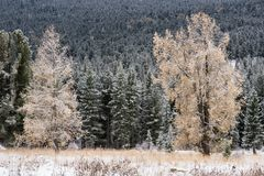 Autumn forest. Snow-covered pines and larch. Royalty Free Stock Photo