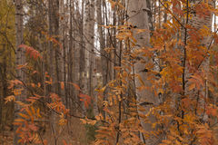 Autumn forest. An autumn forest with some birches and colorful leafs stock image