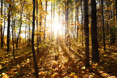 Autumn forest with sun Stock Image