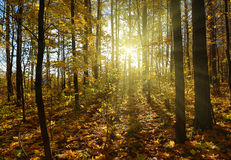 Autumn forest with sun Stock Photography