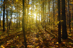 Autumn forest with sun Stock Images