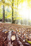 Autumn Forest with Sun and Glow. royalty free stock photo