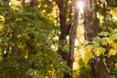 Autumn forest sun lights leaves nature background. Autumn forest. Sun lights through trees with green and yellow leaves. Nature background stock images