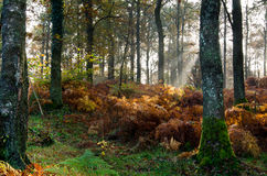 Autumn in the forest. Sun rays in Beck pane woods, Cumbria Royalty Free Stock Photos