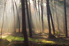 Autumn forest sun rays. Sun rays in a autumn colored forest with a patch of green grass Royalty Free Stock Images