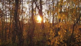 Autumn forest. The sun shines through the leaves and trunks of trees stock video