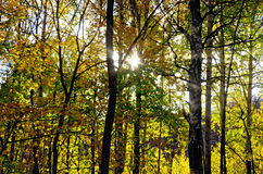Autumn forest with sun Royalty Free Stock Photo