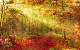 Autumn forest with sunbeam Royalty Free Stock Photo