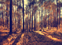 Autumn forest with sunbeams Royalty Free Stock Photos