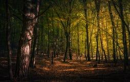 Autumn forest sunlight shining on leafs. Autumn forest during late day with light shining on trees Stock Image