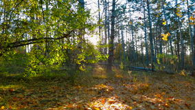 Autumn Forest In The Sunlight. Tracking Shot stock video