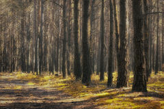 Autumn forest. Sunny autumn forest with coniferous trees Royalty Free Stock Photo