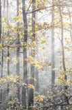 Autumn forest on sunny morning Royalty Free Stock Photo