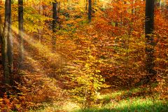 Autumn Forest With Sunray. Woodland with colorful deciduous trees stock photography