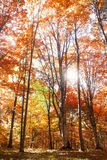 Autumn forest with sunrays Stock Image