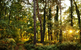 Autumn forest and sunset. Autumn forest with the evening sun shining through the trees royalty free stock photography