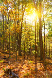 Autumn forest at sunset Stock Photography