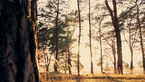 Autumn forest at sunset. Autumn coniferous forest at sunset the sun leaves stock video footage