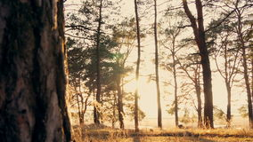 Autumn forest at sunset stock video footage