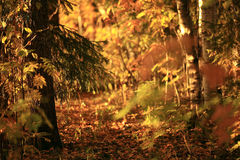 Autumn forest sunset golden leaves Stock Photo