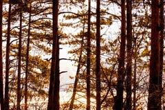 Autumn forest, tall thick beautiful trees in orange tones, Bulgaria. Coniferous autumn forest, tall thick beautiful trees in orange tones on the top, Bulgaria stock photo