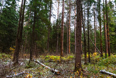 Autumn forest, tall trees, fallen pine. And some snow, raspberry bushes Stock Photos